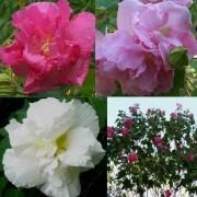 Sementes De Hibisco Mutabilis Rosa Louca Paulista Dobrada Hibiscus Mutabilis