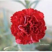 Sementes De Cravos Gigantes Vermelhos