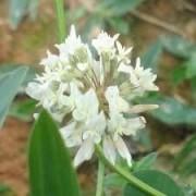 Sementes De Trevo Branco - Pastagem Apicola Trifolium Repens