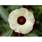 Sementes De Vinagreira Hibisco Sabdariffa 100 unid Groselha Roselle Hibisco Bochi UME