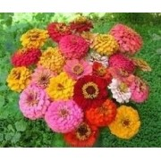 Sementes De Zinnia Gigante Da California Flores Sortidas