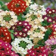 Sementes De Verbenas Sortidas Hibridas Camaradinha Planta da sorte