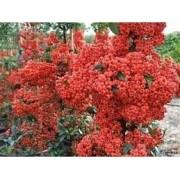 Sementes De Piracanta Vermelha Pyracantha Coccinea