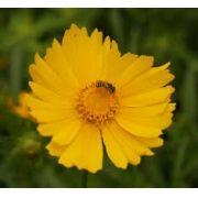 Sementes De Margarida Amarela Coreópsis Lanceolata Apícola