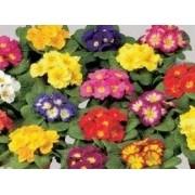 Sementes De Prímulas   Primula Elatior