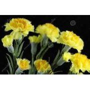 Sementes De CravoS GiganteS Amarelos
