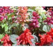 Sementes De Sálvia Sortidas Alegria De Jardim Splendens