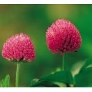 250 Gramas Sementes De Trevo Vermelho Trifolium Pratense