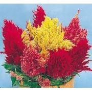 Sementes De Celosia Plumosa Crista De Galo Celósia Suspiro