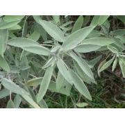 Sementes De Salvia Sálvia Officinalis Salva