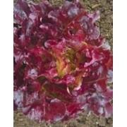 Sementes De Alface Rubi Mimosa Roxa