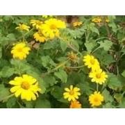 Sementes De Girassol Mexicano Apícola Thitonia Diversifolia  Flor Do Amazonas Boldo Japones
