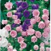 Sementes De Campanula Medium Sininho Flor De Sino Campainha