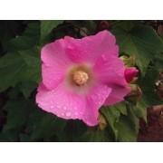 Sementes De Abutilon Rosa Raridade Pink Campainha Sininho