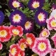 Sementes De Bela-manhã Bons-dias Convolvulus Tricolor Chucha