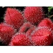 Sementes De Urucum Colorau  Vermelho Achicote Bixa Orellana
