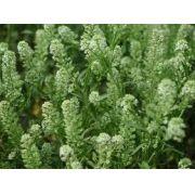 Sementes De Lepidium Virginicum Ou Mastruço Da Virginia