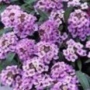 Sementes De Alyssum Roxa Flor De Mel Lobularia Alicinha