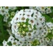 Sementes De Alyssum Branco Flor De Mel Lobularia Alicinha