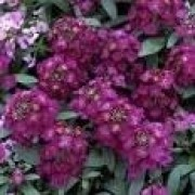 Sementes De Alyssum Violeta Flor De Mel Lobularia Alicinha