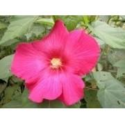 Sementes De Hibisco Mutabilis Singelo Hibiscus Rosa Louca
