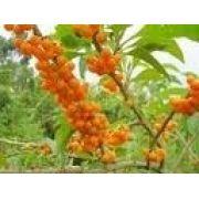 Mudas De Fruta Do Sabiá Marianeira Acnistus Arborescens