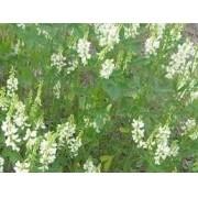500 Gr Sementes De Melilotus Alba (branco) Apícola Forragem