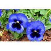 Sementes De Amor perfeito Azul Gigante Suiço