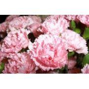 Sementes De Cravos Gigantes Rosa