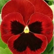 Sementes De Amor Perfeito Vermelho Gigante Suiço