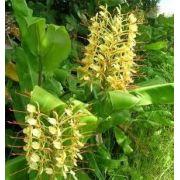 Bulbos De Lirio Do Brejo Amarelo Hedychium gardnerianum Lirio Borboleta conteira, jarroca, roca, cana-roca e gengibre-selvagem