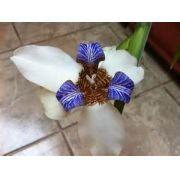 Bulbos De Iris Neomarica Holândica Japonica Caerula Lirio