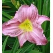Mudas De Hemerocallis Pink Mesclado Lírio Dia Saojose Bulbos