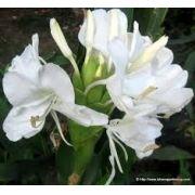 Bulbos De Lirio Do Brejo Branco Hedychium Borboleta Lírio