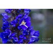 Bulbos De Gengibre Azul Dicorisandra Cana Do Brejo De Macaco