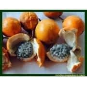 Sementes De Maracujá Da Caatinga Do Mato Passiflora Cincinat