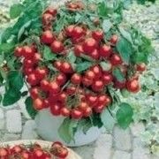 Sementes Frescas Tratadas Tomate Cereja Samambaia Para Vasos