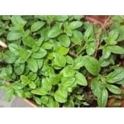 Sementes De Poejo Hortelazinha Mentha Pulegium