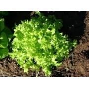 Sementes De Alface Mimosa Verde Baby Leaf