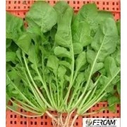 Sementes De Rúcula Para Salada Baby Leaf