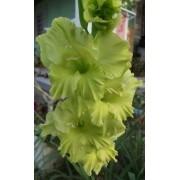 Bulbos De Gladíolos Verde 04 Palma Santa Rita - Veja O Frete