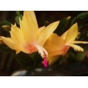 03 Mudas De Flor De Maio Outubro Cactos De Páscoa Natal Seda