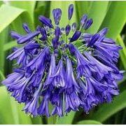 Mudas De 03 Agapantos Lilás Azul Escuro Agapantus Indigo Bulbos de Lírio do Nilo Azulão