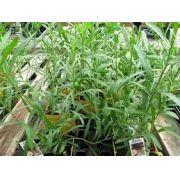 Sementes De Estragão Erva Dragão Artemisia Dracunculus