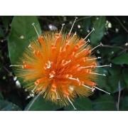 05 Sementes De Flor Da Amizade Raridade Stifftia Chrysantha