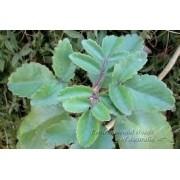 Mudas De Suculentas Bryophyllum