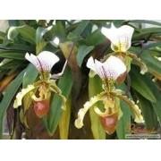 Mudas De Orquídea Sapatinho Queixuda Paphiopedilum