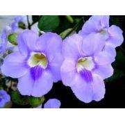 Mudas De Trepadeira Tumbergia Azul Azulzinha Grandiflora -temos a ALBA