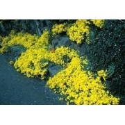 Sementes De Alyssum Amarela dourada Flor De Mel Lobularia Maritima Alicinha