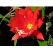 Mudas De Dama Da Noite Vermelha Epiphyllum Gigante Ackermani Cactos Orquídea